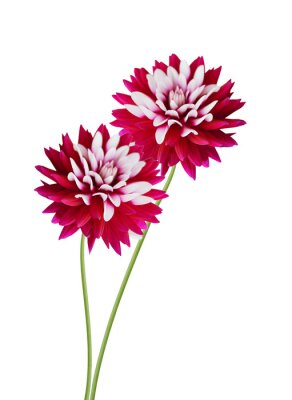Stack red dahlia flowers on white background
