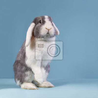 Stehend Mini-lop Kaninchen