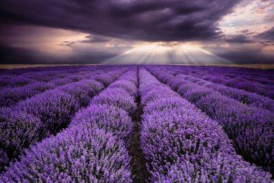 Sticker Strahlen über Lavendelfeld