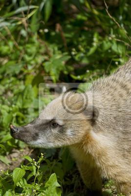 Südamerikanischer Nasenbär