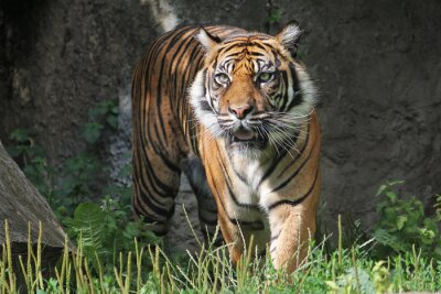 Sticker Sumatra Tiger im Warschauer Zoo. Sonnigen Sommertag.