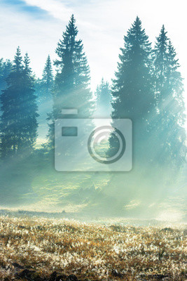 sun rays breaking through the fog in spruce forest. beautiful nature scenery. magical weather in autumn at sunrise