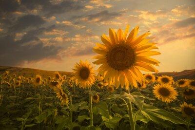 Sticker Sunflowers on sunset
