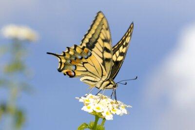 Sticker Swallowtail Fütterung auf Lantanablüten. Langsame Verschlusszeit, um Flügel flattern zu erfassen.
