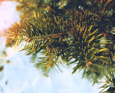 Tannenzweig im Schnee. Fichte Zweig auf dem Schnee Hintergrund. Kopieren Sie Platz für Ihren Text.