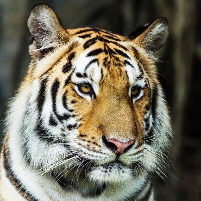 Sticker Tiger