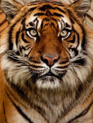 Sticker Tiger Porträt