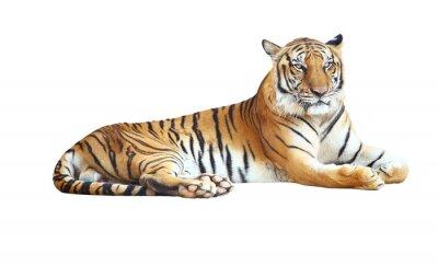 Sticker Tiger suchen Kamera mit Clipping-Pfad auf weißem Hintergrund