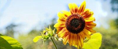Sticker Tournesol jaune en pflanze floraison