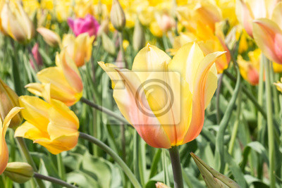 Tulip Blushing Lady