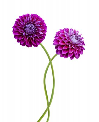 Two Pink dahlia isolated on white background