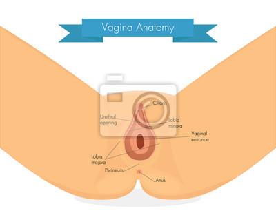 Vagina anatomie. saubere darstellung der vulva. notebook-sticker ...
