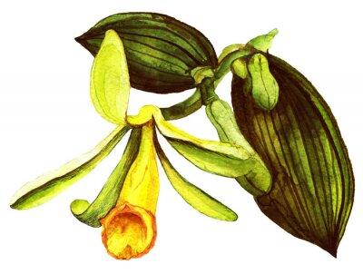 .Vanilla Orchidee. Handgezeichnetes Aquarell