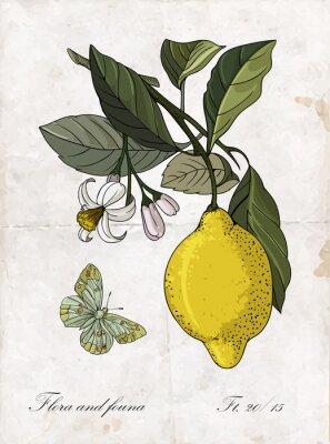 Sticker Vector Handzeichnung Zitrone branch.Botanical Illustration.