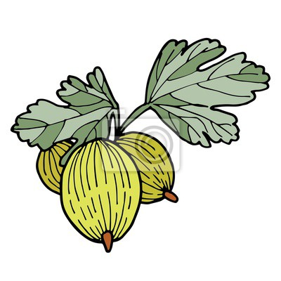 vector illustration of gooseberry