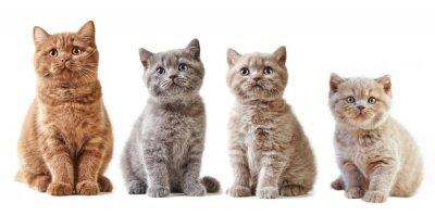 Sticker Verschiedene britische Kätzchen