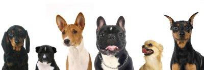 Sticker Verschiedene Rassen von einer kleine Hunde