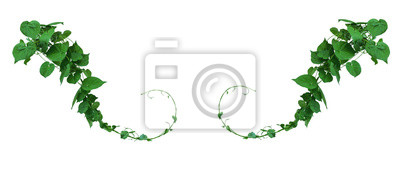 Sticker Vine with green leaves, heart shaped, twisted separately on a white background