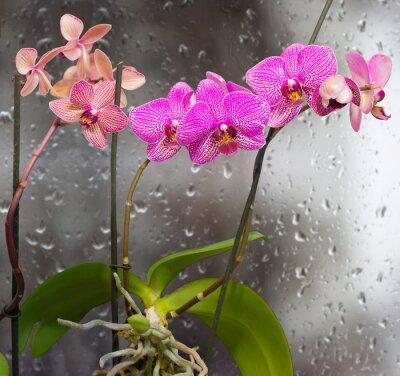 Sticker Vorbauten mit Orchidee Blumen auf einem Hintergrund-Fenster mit Regentropfen