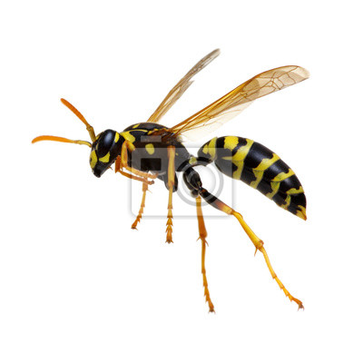 Sticker wasp isolated on white