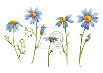 Watercolor blue chamomile daisy flower