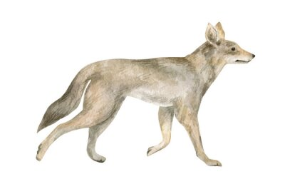 Watercolor illustration with coyote. Beautiful wild prairie animal isolated on white background.