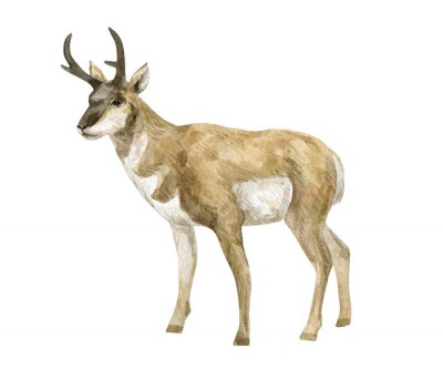 Watercolor illustration with pronghorn. Beautiful wild prairie animal isolated on white background.