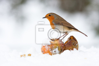 Weihnachten Rotkehlchen Mit Apfeln Im Winter Schnee Notebook Sticker