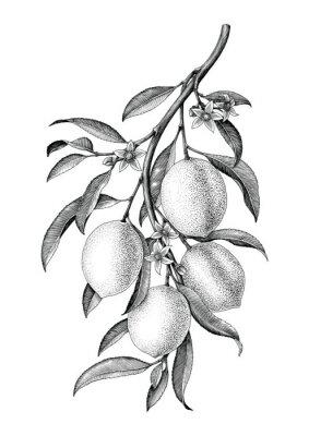 Sticker Weinleseclip-Kunstisolat der Zitroneniederlassungsillustration Schwarzweiss auf weißem Hintergrund