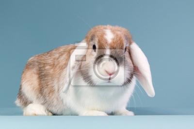 Weiß Schmuckschildkröte Mini-lop Kaninchen im Studio