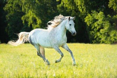 Sticker Weiße arabische Pferd läuft Galopp in den Sonnenuntergang Licht