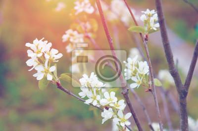 Weiße Blüten auf einem Zweig mit grünen Blättern auf dem Hintergrund der Sonne