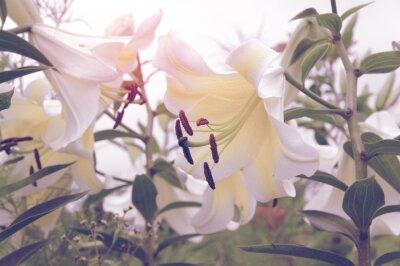 Weiße Lilie mit grünen Blättern