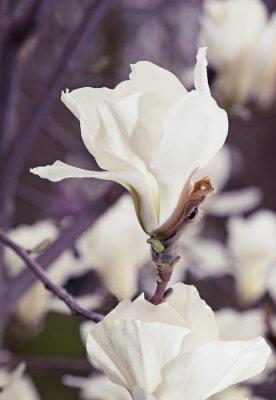 Sticker Weiße Magnolienblüten