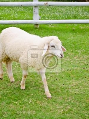 weiße Schafe Walking in Ackerland