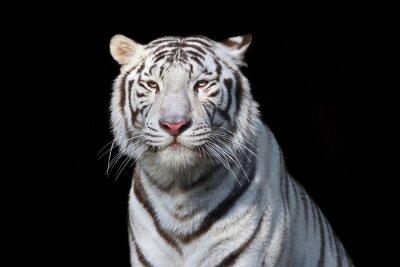 Sticker Weißer Bengal-Tiger auf schwarzem Hintergrund. Das gefährlichste Biest zeigt seine ruhige Größe. Wilde Schönheit einer schweren großen Katze.