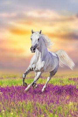Weißes Pferd laufen Galopp in den Blumen gegen Sonnenuntergang Himmel