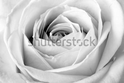 Sticker Weißrose, Schwarzweiss-Makro