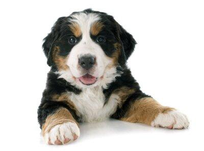 Sticker Welpen Berner Berg Hund