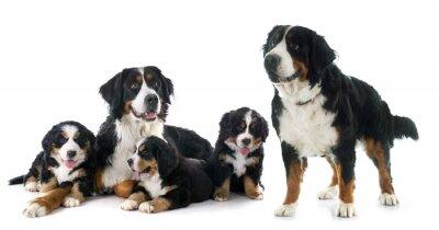 Sticker Welpen und erwachsenen bernese moutain hund