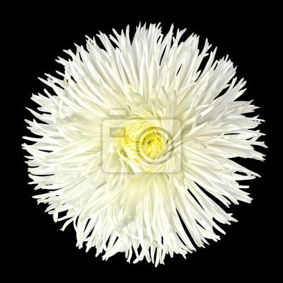 White daisy blume mit gelben center isolated on black notebook ...
