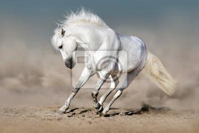 White Hengst in der Wüste gegen den blauen Himmel laufen