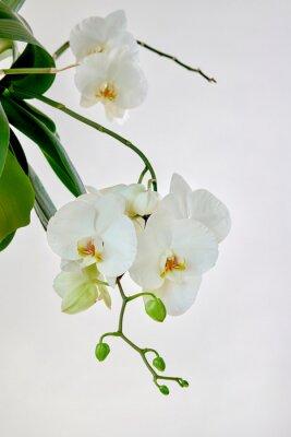 Sticker White orchid
