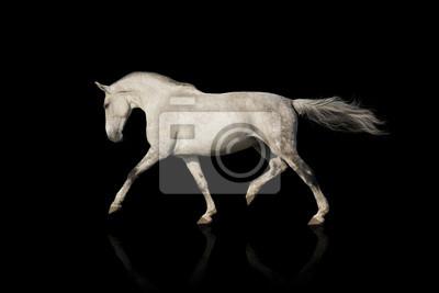 Whiter Pferd auf schwarzem Hintergrund isoliert