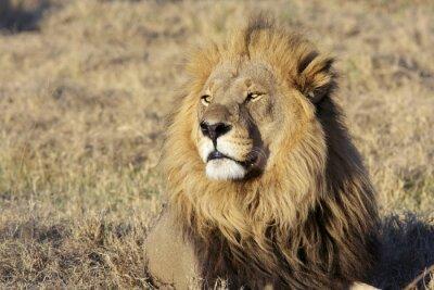 Sticker Wilde männlichen Löwen Porträt