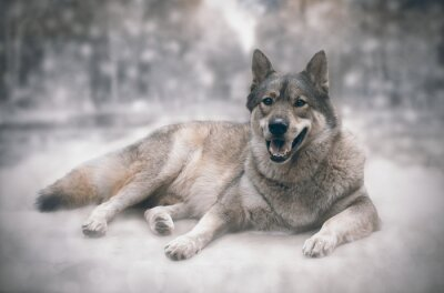 Sticker Wolf / Happy von Wolf auf Schnee Hintergrund.