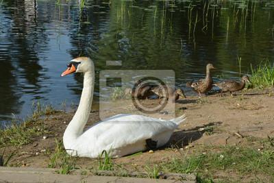 белый лебедь и утки