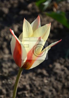 красно-белый тюльпан