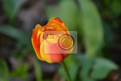 желтый тюльпан цветок