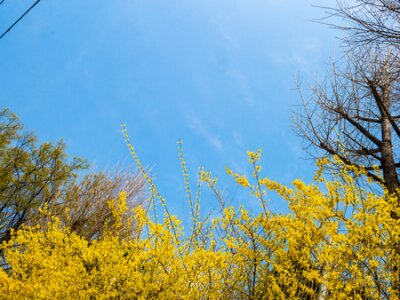 yellow forsythia one of famous south korea flowers in spring season with the blue skyใ